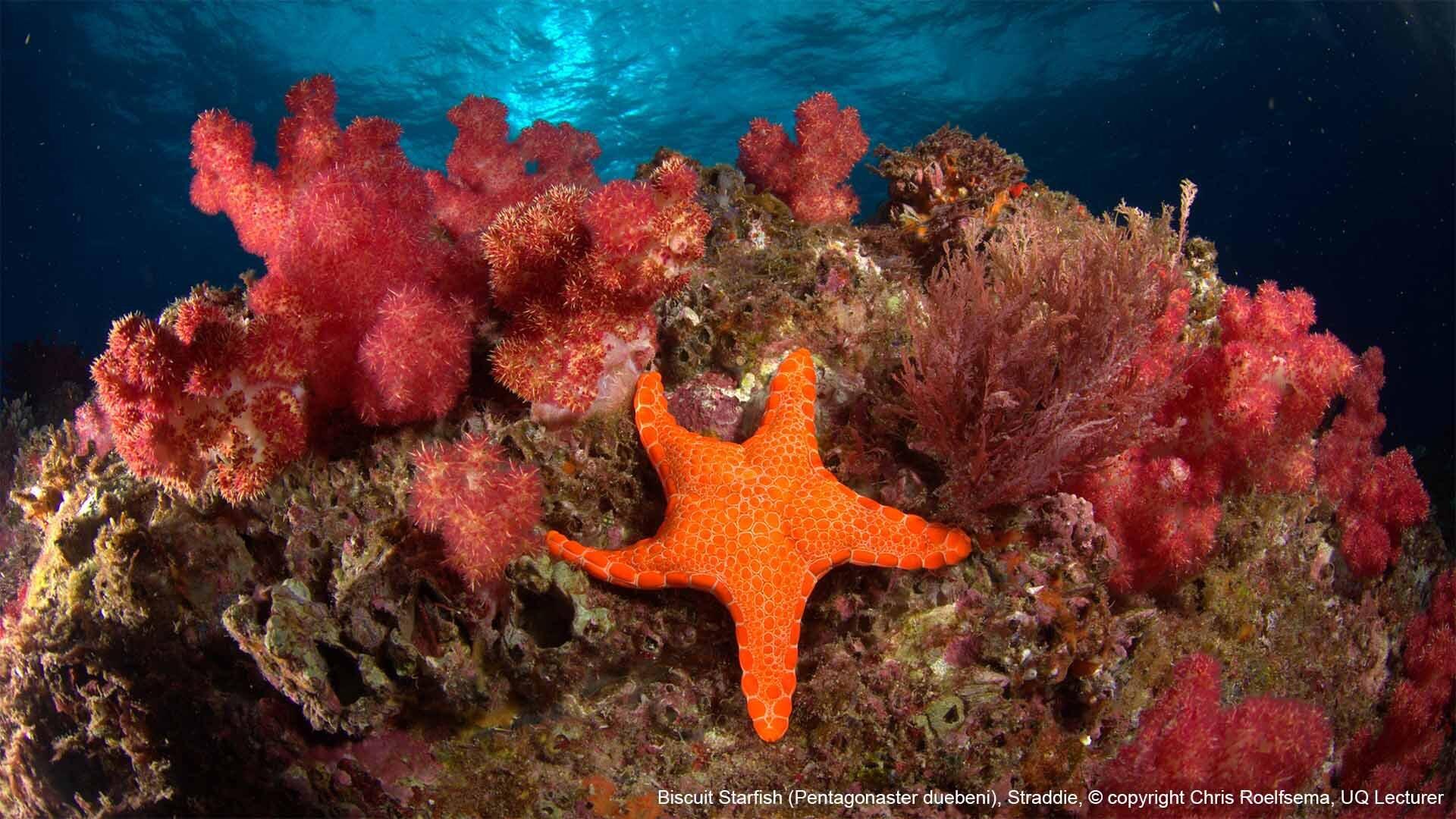 Biscuit Starfish (Pentagonaster duebeni), Straddie, © copyright, Chris Roelfseama, UQ Lecturer captioned