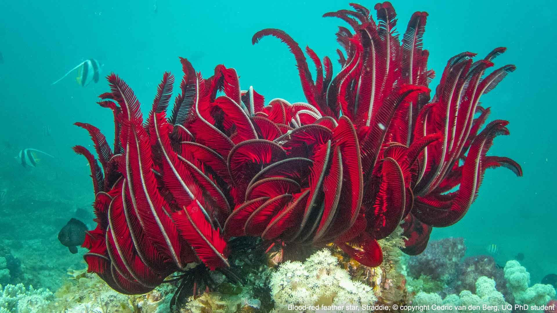 Blood-red feather star, Straddie, © 2017 copyright Cedric van den Berg, UQ PhD student