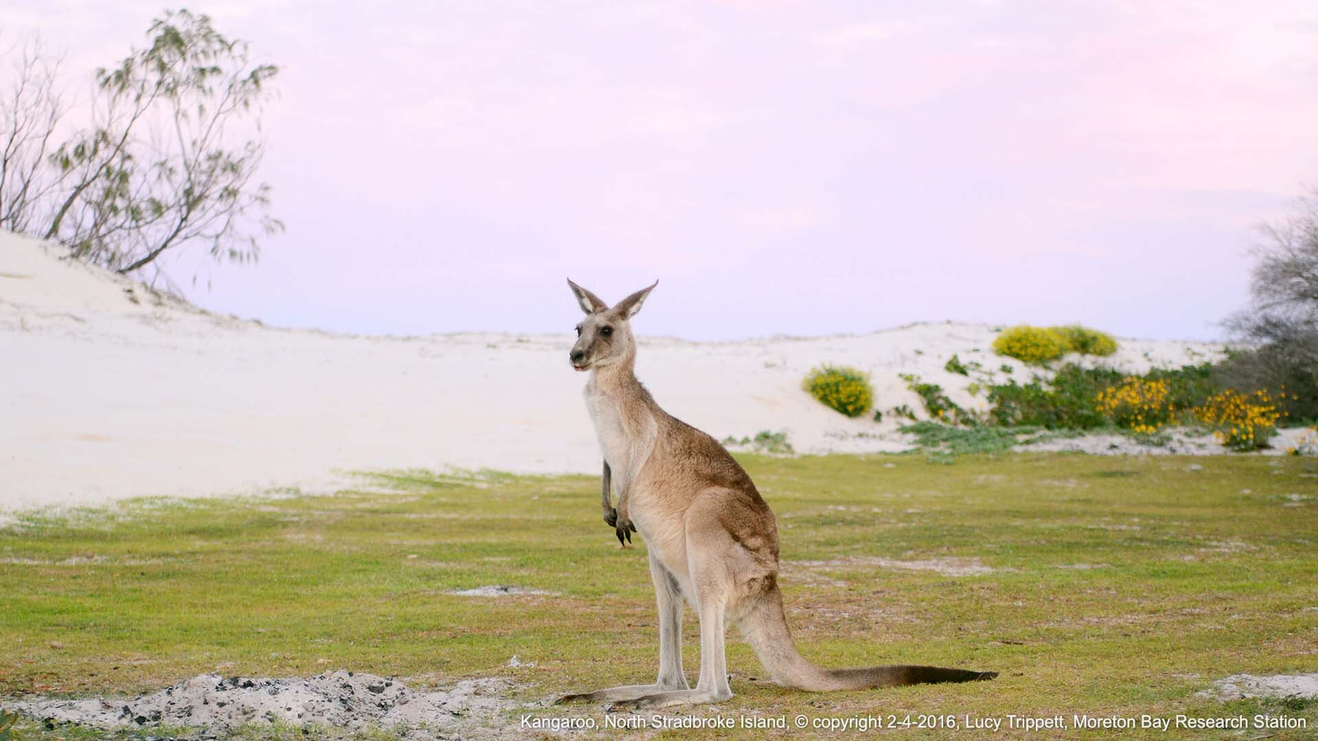 Kangaroo, North Stradbroke Island, © copyright 2-4-2016, Lucy Trippett, Moreton Bay Research Station