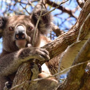 Koala in tree, North Stradbroke Island, © copyright 3-6-2017, Lucy Trippett, Moreton Bay Research Station
