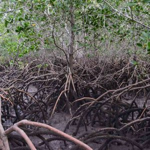 Mangroves on MARS2015 student field trip, Myora Springs, North Stradbroke, © copyright 2015, Nina Clark, UQ Undergrad student