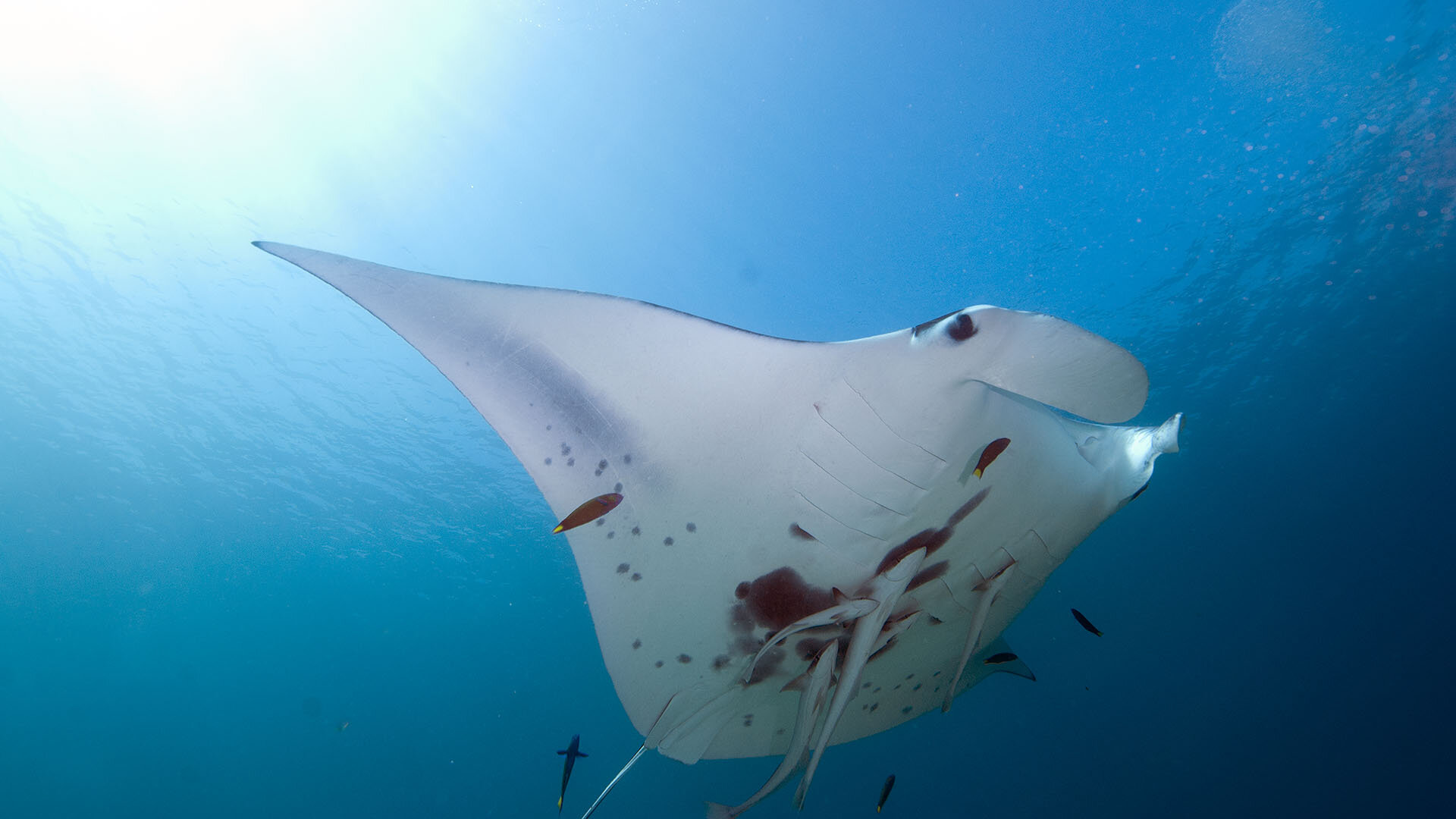 Manta Ray, © copyright Lucy Trippett, Moreton Bay Research Station