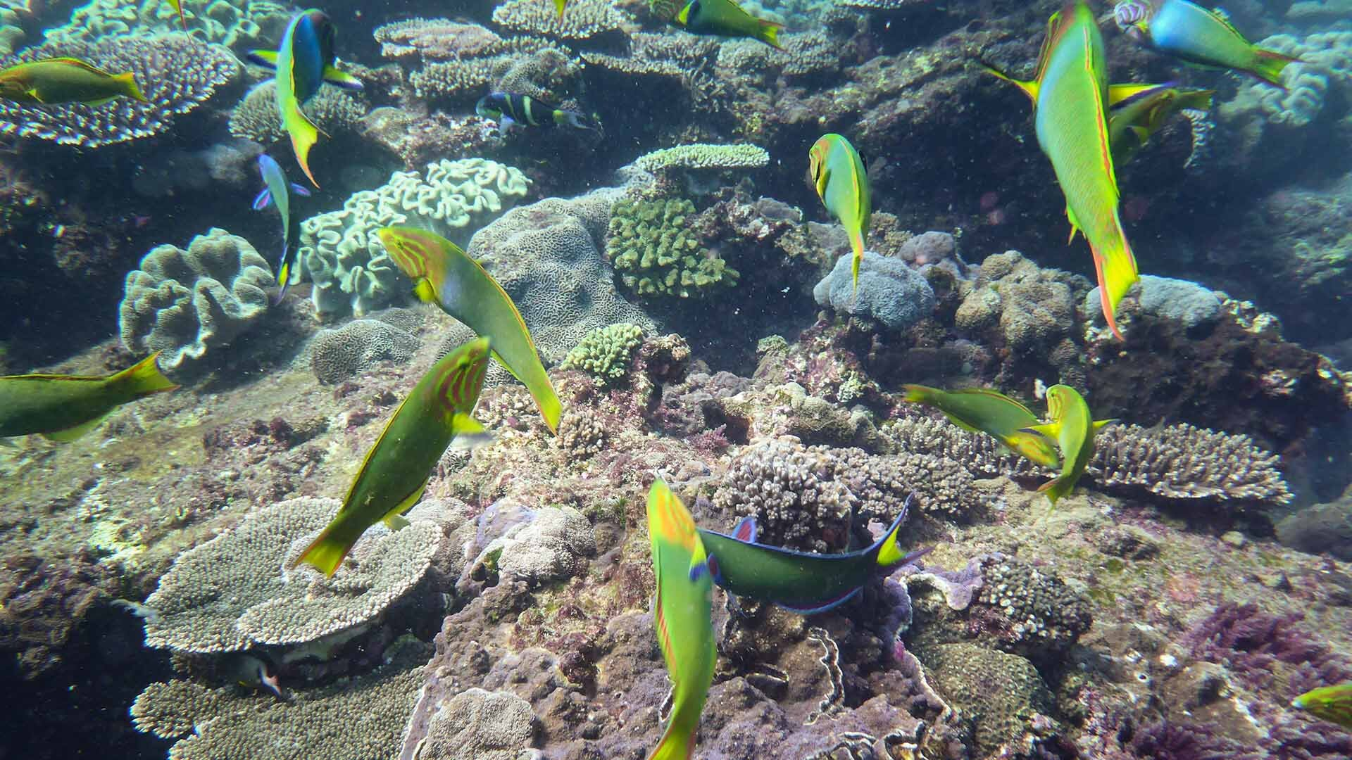 Moon wrasse and corals during Flinders Reef Ecological Assessment, © copyright, Cedric van den Berg, UniDive, UQ PhD student volunteer