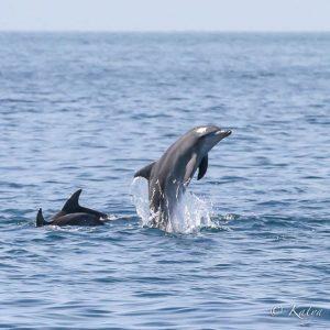 Pod of dolphins porpoising, ©copyright Katya Ovsyanikova, UQ PhD student
