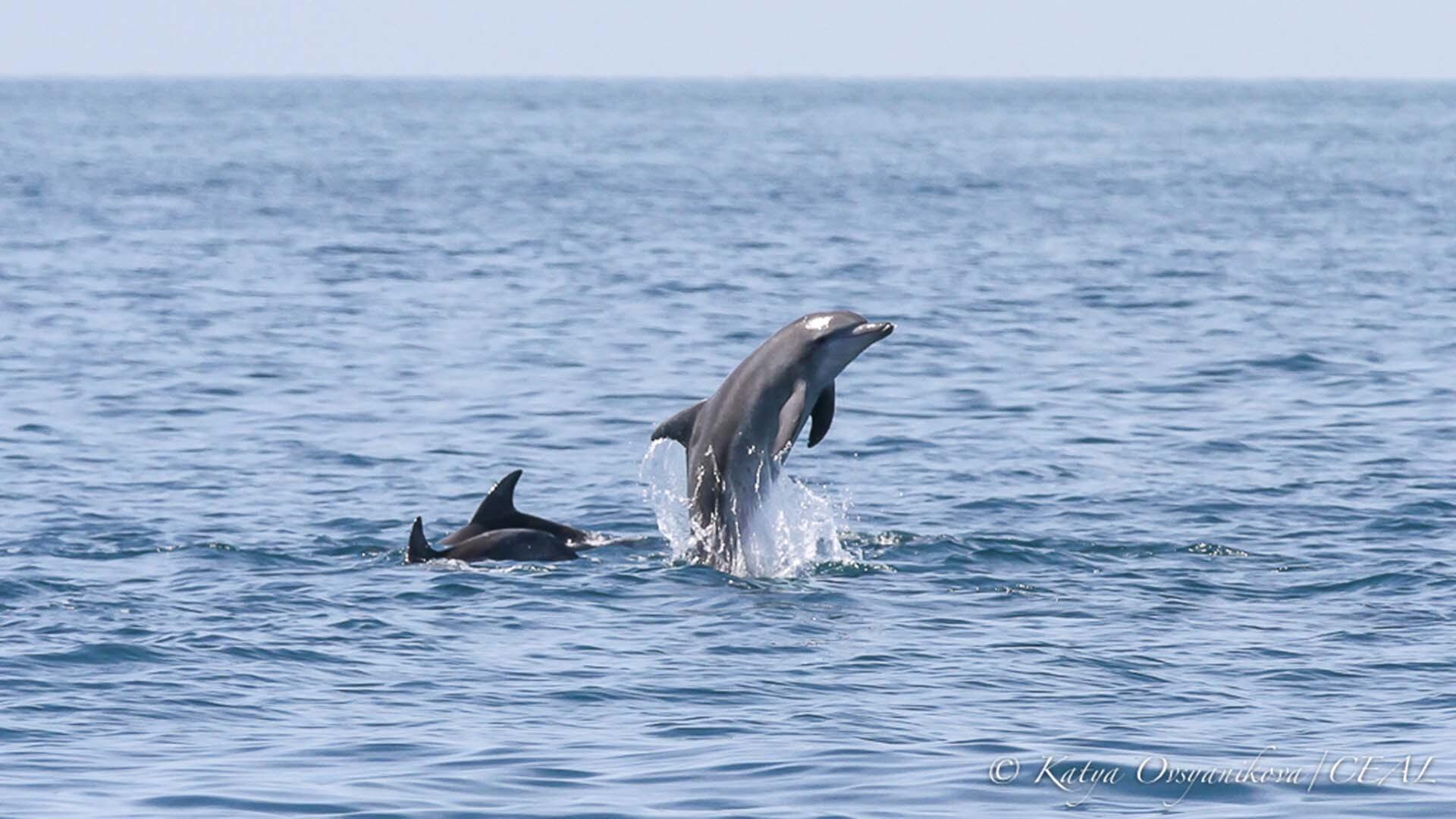 Dolphins, ©copyright Katya Ovsyanikova, UQ PhD student