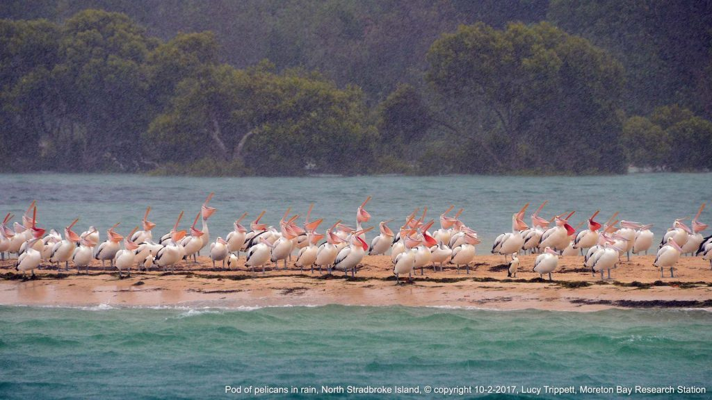 Pod of pelicans in rain, North Stradbroke Island, © copyright 10-2-2017, Lucy Trippett, Moreton Bay Research Station