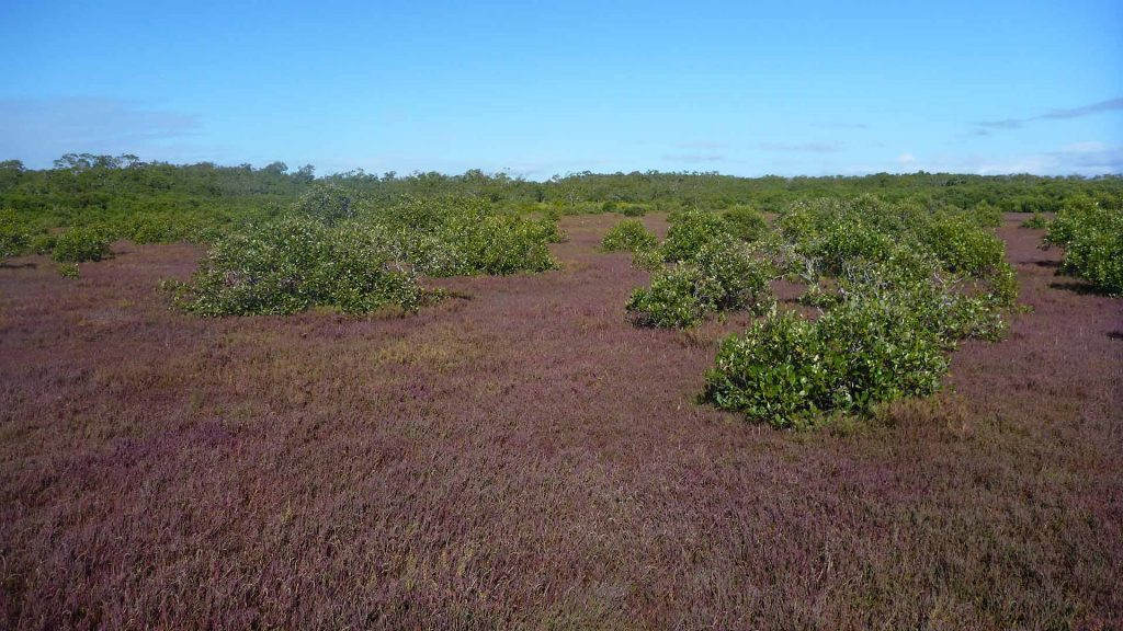 Avicennia marina expanding into marsh dominated by Sarcocornia quinqueflora (samphire), Tinchi Tamba Wetlands Reserve, © copyright, Cath Lovelock, UQ Professor