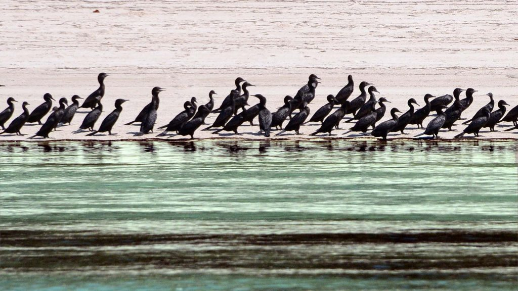 Cormorants, Peel Island, © copyright 5-3-2016, Lucy Trippett, Moreton Bay Research Station