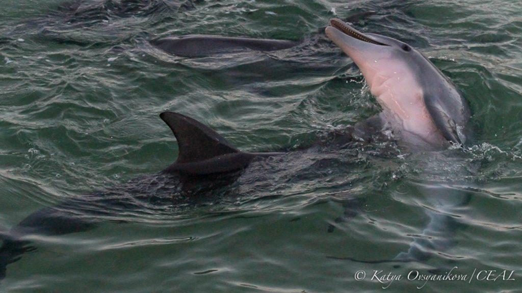 Dolphins, Tangalooma, © copyright 16-12-2017, Katya Ovsyanikova, UQ PhD student