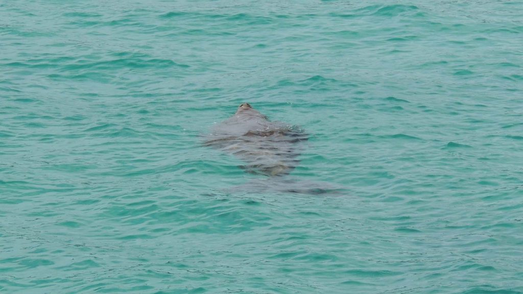 Dugong surfacing to breathe, Tangalooma Resort, Moreton Island, © copyright 08-04-2015, Jody Kreuger, Jody Kreuger, Boating and Diving Officer, Griffith University