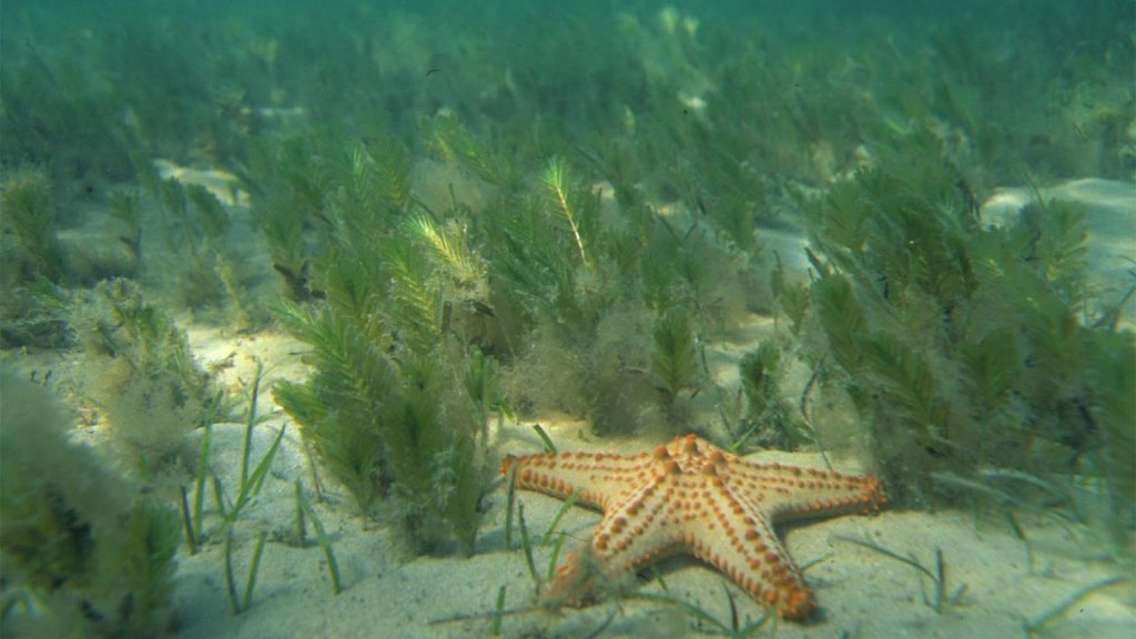 Grass spinulosa, starfish, Eastern Banks, © copyright, Chris Roelfseama, UQ Lecturer