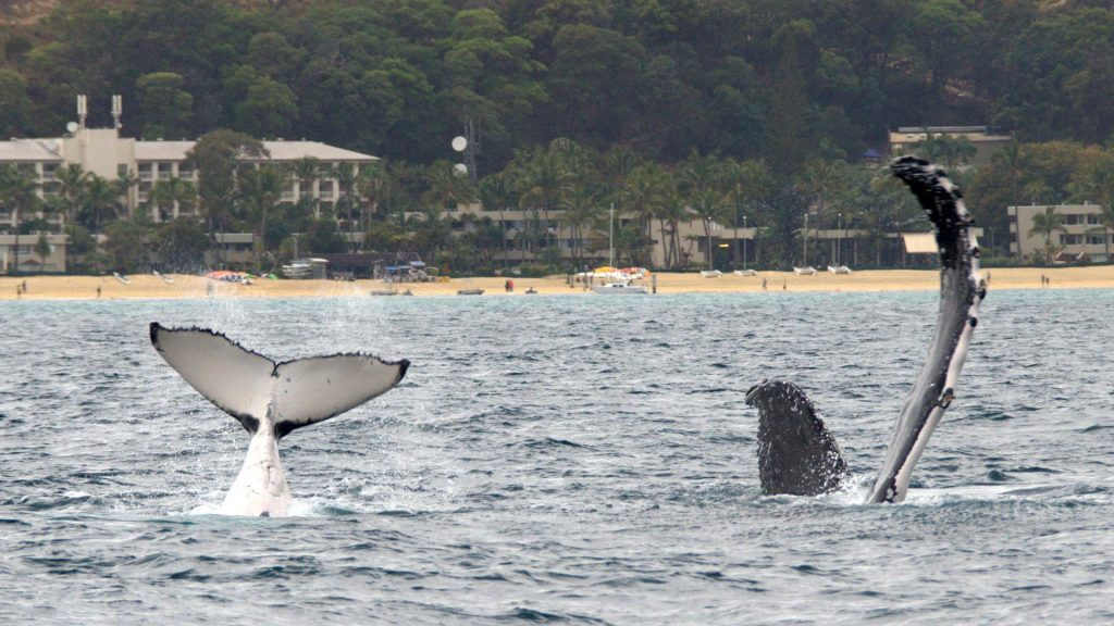 Humpbacks playing off Tangalooma Resort, Velella, Moreton Island, © copyright September 2017, Chris Roelfseama, UQ Lecturer