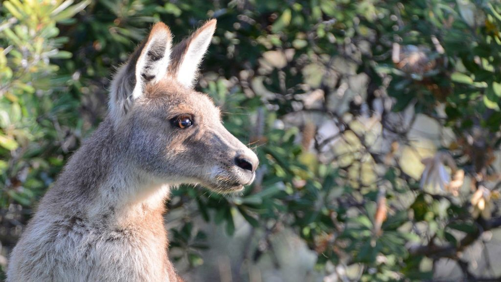 Kangaroo, Main Beach NSI, © copyright 7-2-2017, Lucy Trippett, Moreton Bay Research Station