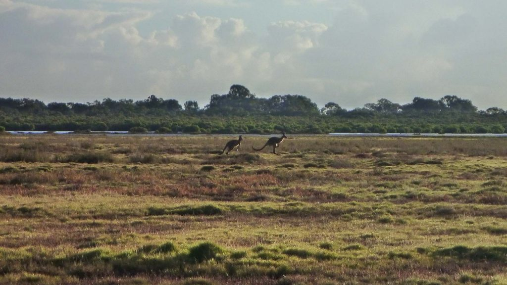 Kangaroos on the salt couch (Sporobolus virginicus) saltmarsh, Tinchi Tamba Wetlands Reserve, © copyright, Cath Lovelock, UQ Professor