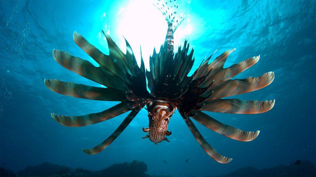 Lionfish, Straddie, © copyright, Chris Roelfsema, UQ Lecturer