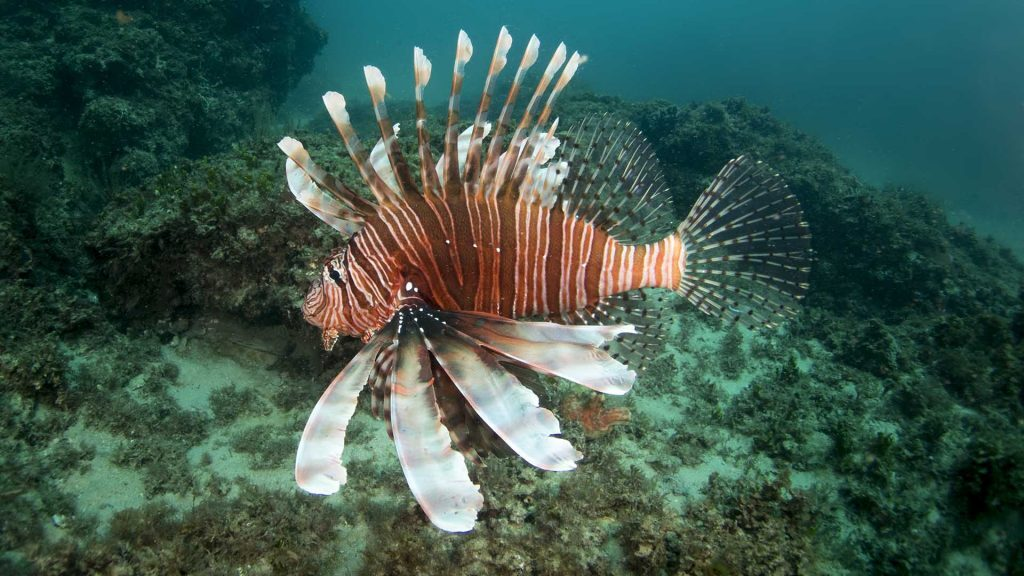 Lionfish, Straddie, © copyright January 2018, Cedric van den Berg, UQ PhD student