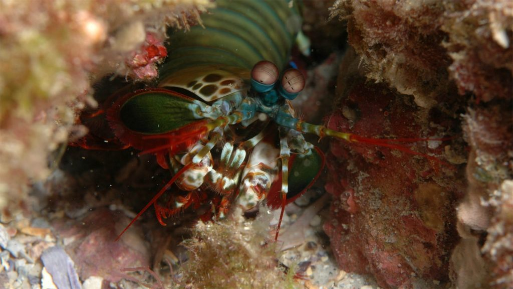 Mantis shrimp, Straddie, © copyright, Chris Roelfseama, UQ Lecturer