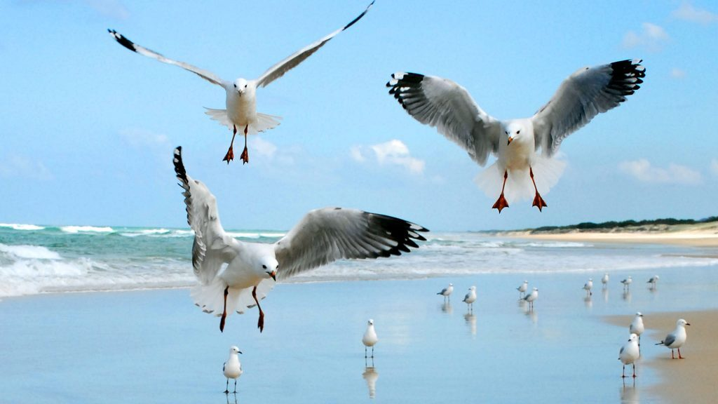 Seagulls dancing, Main Beach NSI, © copyright 5-2-18, Lucy Trippett, Moreton Bay Research Station