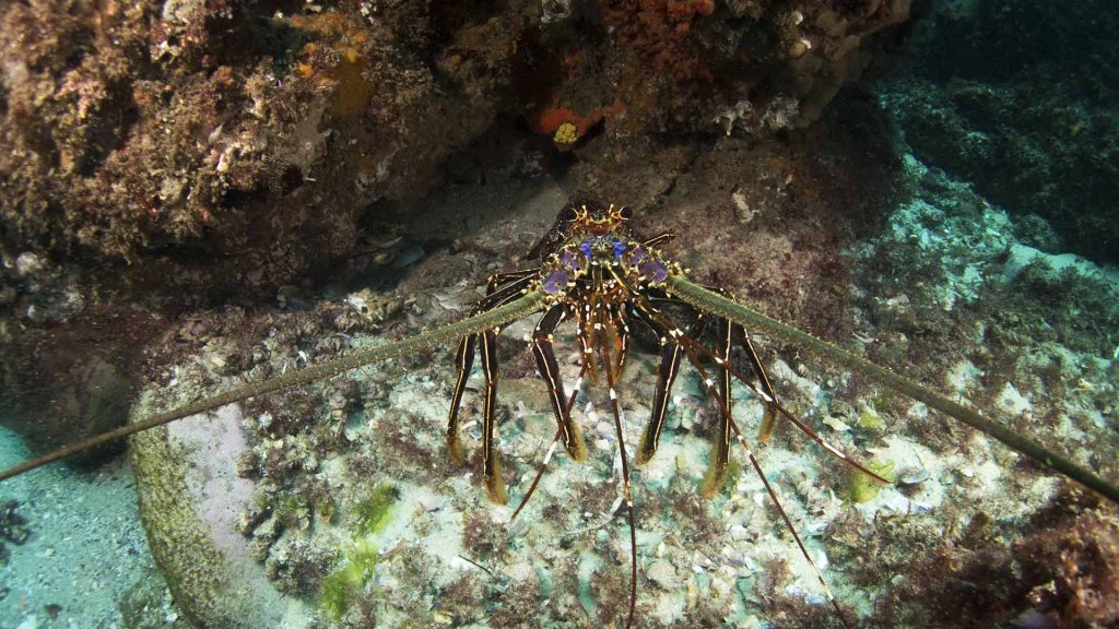 Spiny lobster, Straddie, © copyright January 2018, Cedric van den Berg, UQ PhD student
