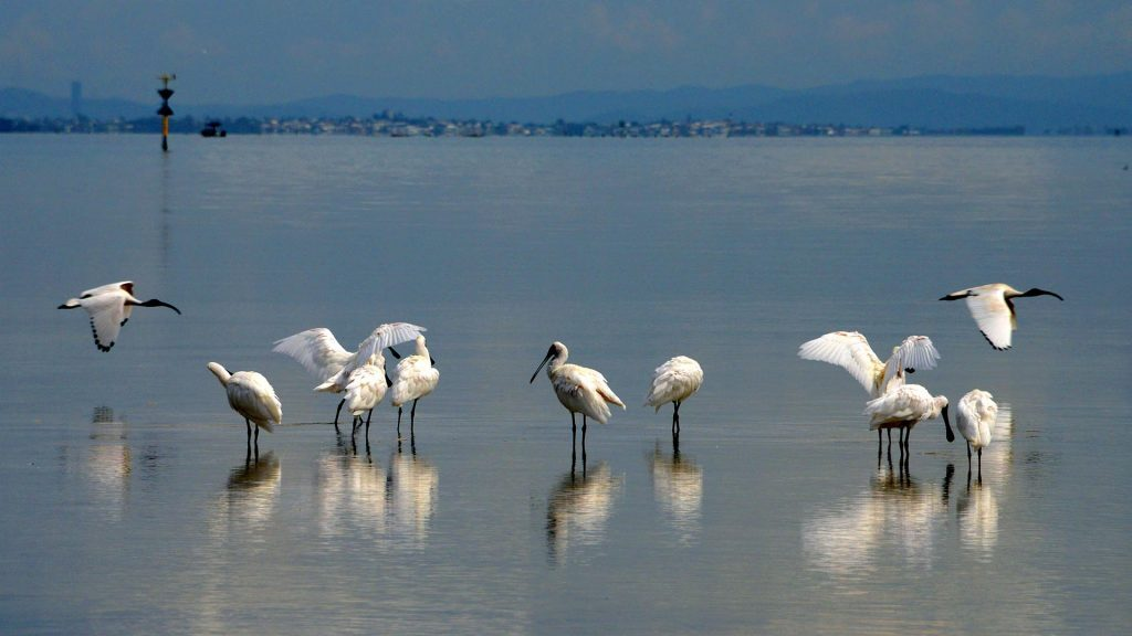 Spoonbill flock at Myora sandflats, Dunwich NSI, © copyright 7-2-2017, Lucy Trippett, Moreton Bay Research Station