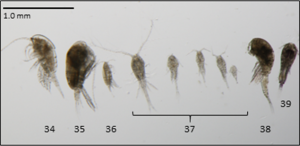 Adult copepods