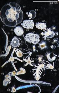 Anthoathecata, Narcomedusa; Solmundella bitentaculata, Leptothecata medusa; Obelia, Anthozoa, Tornaria and Echinoderm larvae, Phoronid larva, Globigerinid foraminiferans, Noctiluca scintillans, Polychaete larvae, Tomopteris, Appendicularians