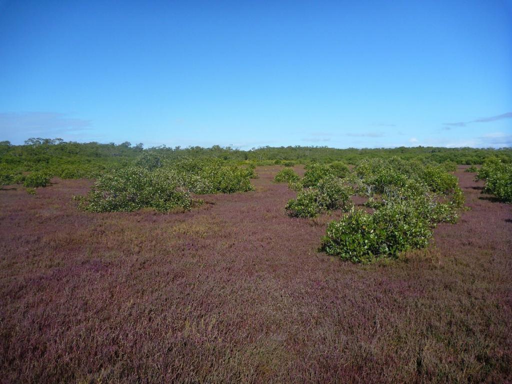 Avicennia marina mangrove scrub encroaching into saltmarsh at Tinchi Tamba in Moreton Bay