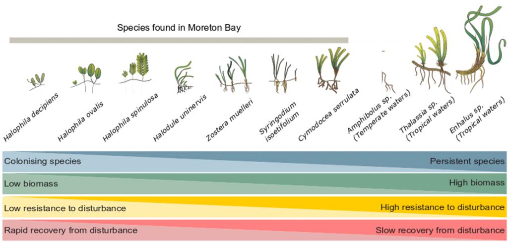 Seagrass genera in Moreton Bay