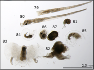 Gastropod molluscs, Echinospira, Atlanta and Prosobranch molluscs