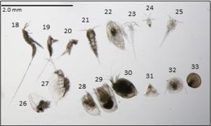 Harpacticoid copepods, Calanoid copepod nauplii, Barnacle nauplius, Cladocerans, Ostracods, Bryozoan and Brachiopoda larva, Bivalve veliger