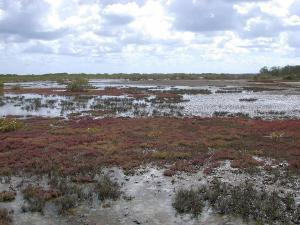 Hypersaline saltmarsh and claypan at Point Halloran Reserve Moreton Bay