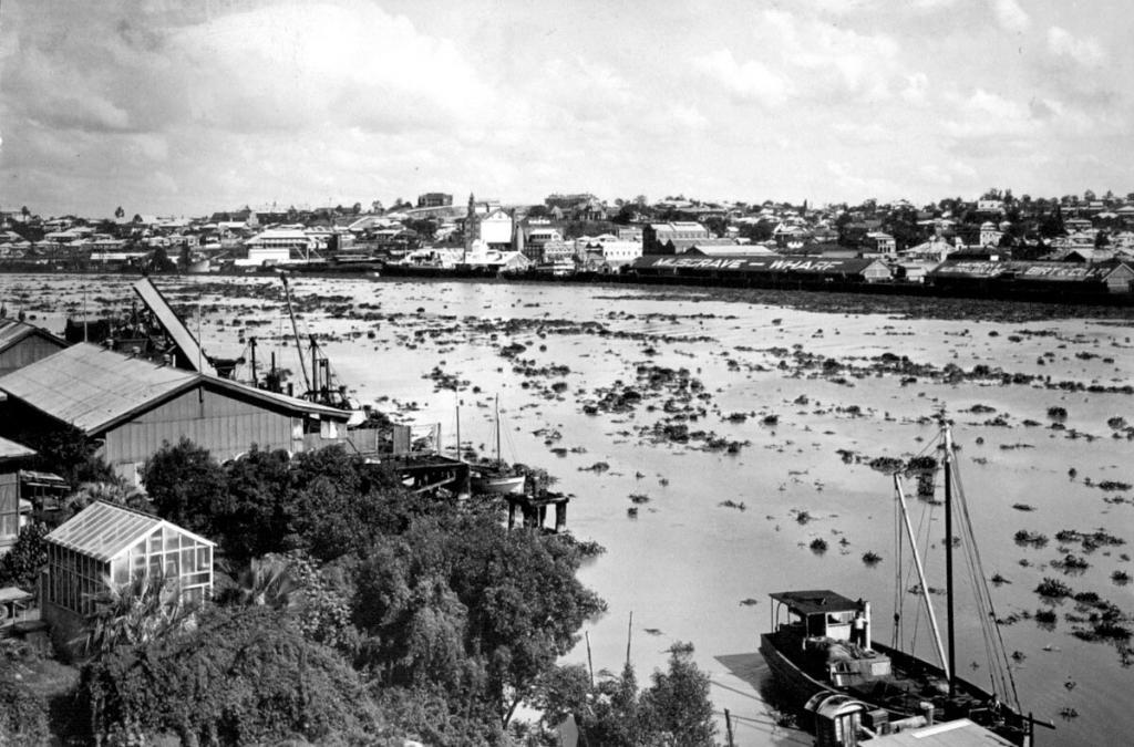 Richards3 Invasive hyacinth climps floating down the Brisbane River 1937