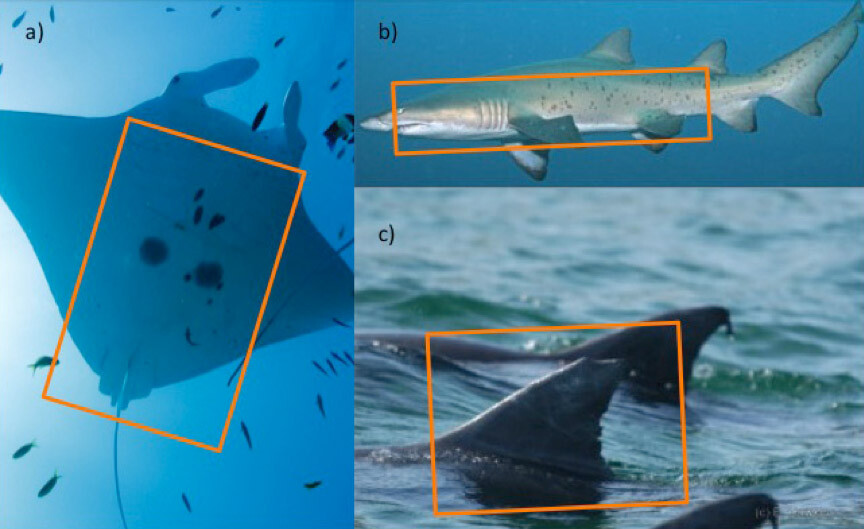 photo id reef manta ray grey nurse shark and australian humpback dolphin case studies