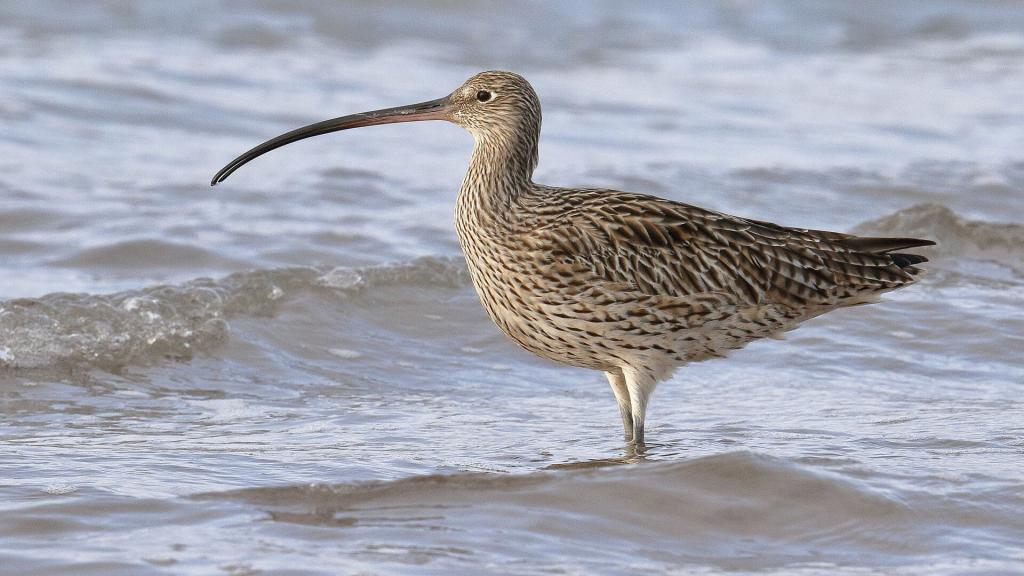 Critically endangered Eastern curlew, Oyster Point Cleveland, copyright 3-3-2019, Chris Walker