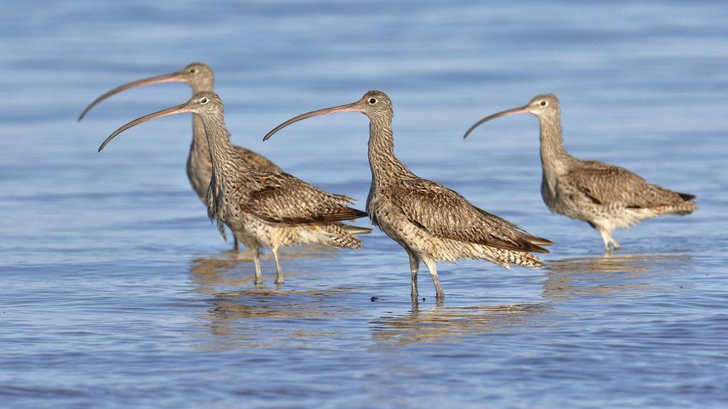 Eastern curlews, Oyster Point Cleveland, copyright 24-8-2019, Chris Walker
