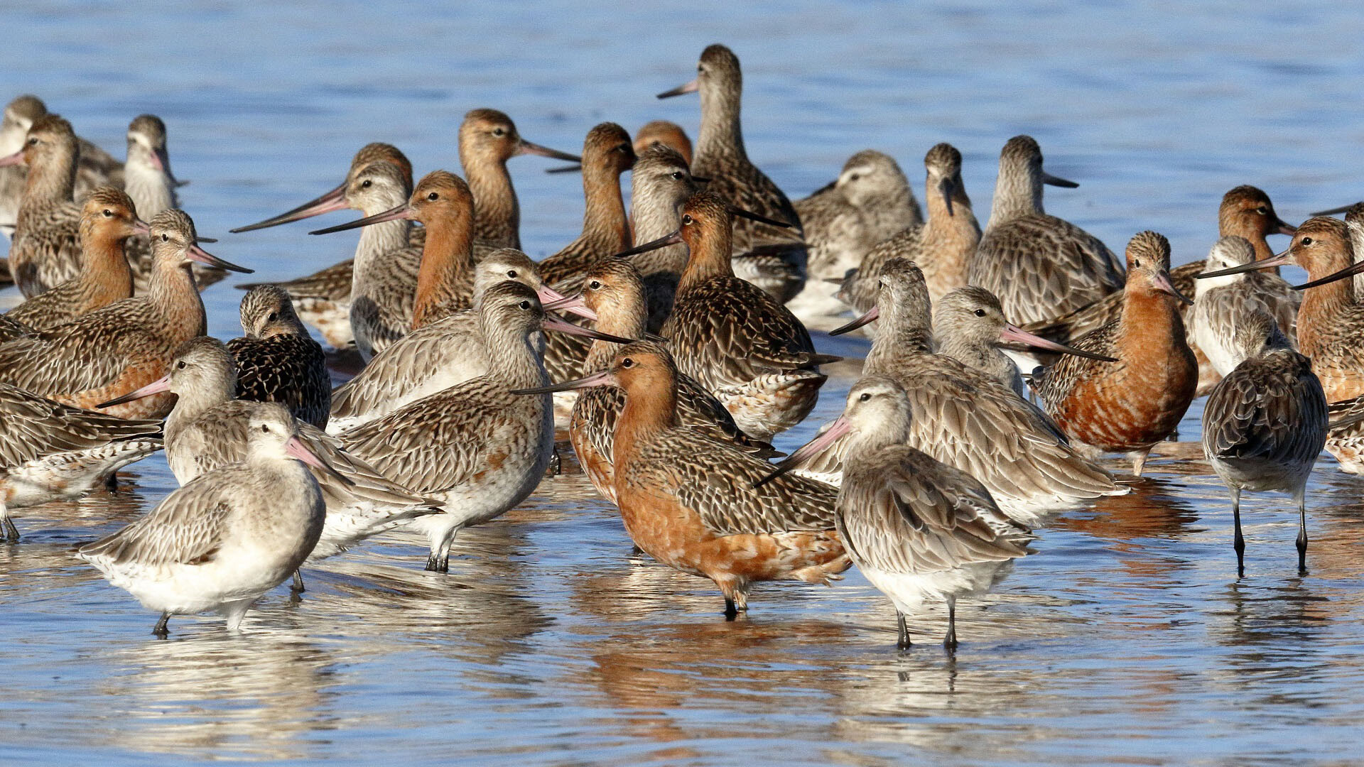 Vulnerable Bar-tailed godwits, Oyster Point Cleveland, copyright 26-3-2017, Chris Walker