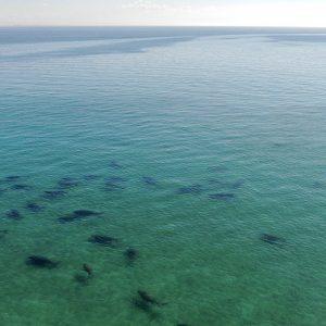 herd of dugongs Moreton Bay © Regatta Marine